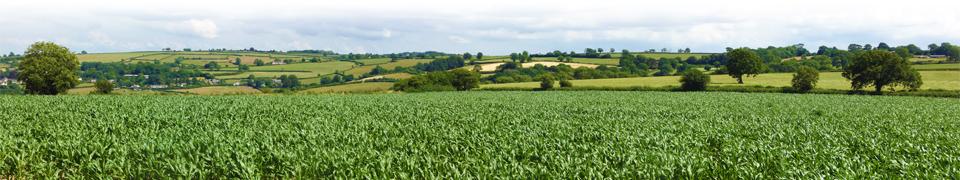 maize_field